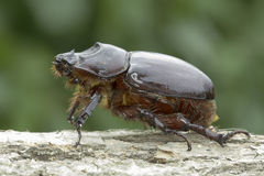 European rhinoceros beetle (Oryctes nasicornis) Stock Photo