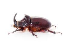 European rhinoceros beetle, Oryctes nasicornis, macro profile Royalty Free Stock Images