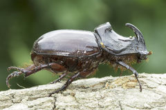 European rhinoceros beetle (Oryctes nasicornis) Royalty Free Stock Images