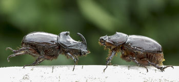 European rhinoceros beetle (Oryctes nasicornis) Royalty Free Stock Image