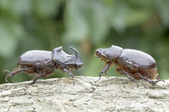European rhinoceros beetle (Oryctes nasicornis) Royalty Free Stock Photography