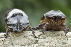 European rhinoceros beetle (Oryctes nasicornis) Stock Photography