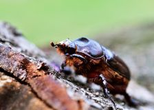 European rhinoceros beetle - Oryctes nasicornis royalty free stock image