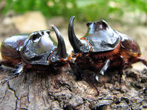European rhinoceros beetle Stock Image