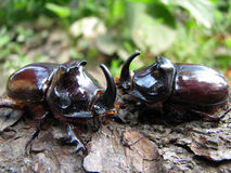 European rhinoceros beetle Stock Photo