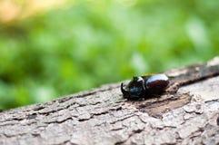 The European rhinoceros beetle on a tree bark. Oryctes nasicornis Stock Image