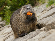 European River Otter Stock Images