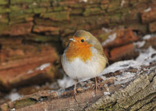 European Robin Stock Images