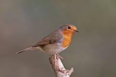 European robin Royalty Free Stock Image