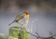 European Robin Stock Photography