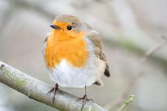 European Robin. In London getting ready before the on set of winter Stock Photography