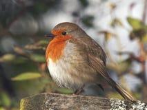 European Robin. Perching on a garden bird-table in Spring Royalty Free Stock Photography