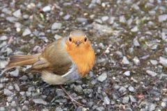 European Robin stock image