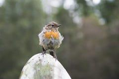 European robin. Sitting on a pole Royalty Free Stock Photos