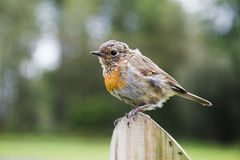 European robin. Sitting on a pole Royalty Free Stock Images