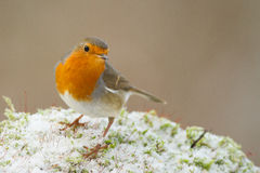 European robin. Close-up in the snow Royalty Free Stock Images