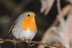 European robin. Redbreast on a tree branchlet Royalty Free Stock Image