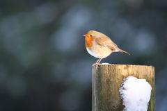 European robin. Sitting on a post in Haldon Hill woods Stock Images