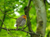 European robin. An adult european robin sitting on a branch Royalty Free Stock Photo