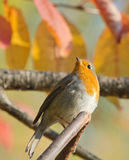 European Robin. On autumn branch Stock Image
