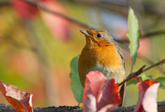 European Robin. On autumn branch Royalty Free Stock Photo