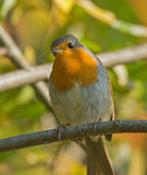 European Robin. On autumn branch Stock Images