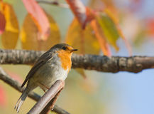 European Robin. On autumn branch Royalty Free Stock Photos
