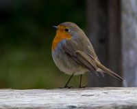European Robin in the autumn. European Robin Erithacus rubecula on autumn migration at Ottenby, Oland Island, Southern Sweden Stock Images