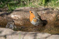 European Robin Bird in bird bath. European robin bird standing in the water of a birdbath ready for a bath looking to the left Stock Images