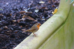European Robin Bird Royalty Free Stock Images