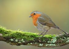 European robin bird Royalty Free Stock Photos