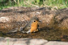European Robin Bird in bird bath. European robin bird taking a bath while facing right Stock Image