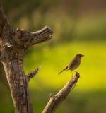 European Robin on branch Stock Photo