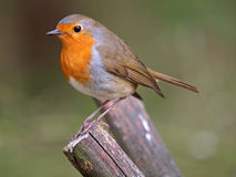 European Robin Stock Image