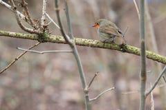 European robin Stock Photo