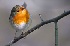 European Robin on branch Stock Photography