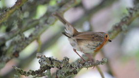 European Robin On Branch stock video