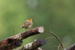 European robin. On a branch during the rain in autumn Stock Images