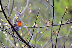 European robin on a branch Royalty Free Stock Photography