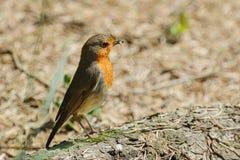 An European Robin Stock Images