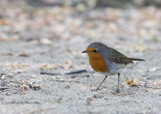 European Robin Chat Passerine Bird Erithacus rubecula Royalty Free Stock Photo
