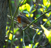 European robin close-up in park. Sitting in shade and singing his love song stock image