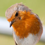 European robin closeup showing feather detail stock photography