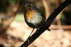 European robin E. rubecula stock image