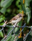 European robin (Erithacus rubecul) Royalty Free Stock Photography