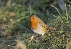 European Robin - Erithacus rubecula Stock Photography