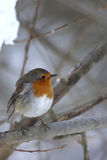 European Robin (Erithacus rubecula). It was held to be a storm-cloud bird and sacred to Thor, the god of thunder, in Norse mythology. it has become strongly royalty free stock images
