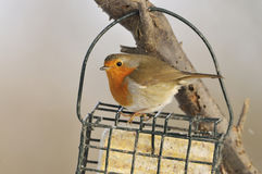 European Robin - Erithacus rubecula Royalty Free Stock Images