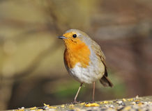 European Robin - Erithacus rubecula Royalty Free Stock Photography