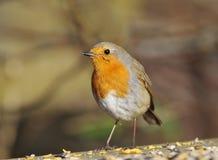 European Robin - Erithacus rubecula Royalty Free Stock Photography